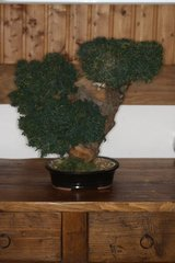Bonsai Faux Junniper in Ramstein, Germany